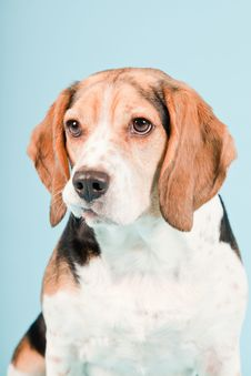 Free Cute Beagle Dog Royalty Free Stock Photos - 25625248