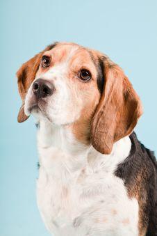 Free Cute Beagle Dog Royalty Free Stock Image - 25625256