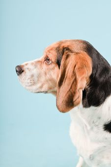 Free Cute Beagle Dog Stock Photography - 25625272