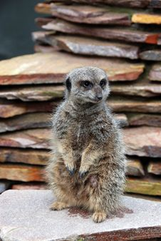 Free Meerkat On The Lookout Stock Photos - 25629743