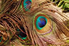 Free Peacock In The Wind Royalty Free Stock Images - 25629899