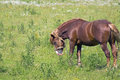 Free Strong Hunky-horse Grazing In A Meadow Stock Photo - 25639730