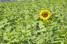 Free The Revealed Sunflower Stock Image - 25631741