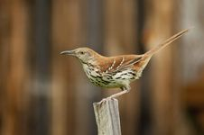Free Adult Thrush Bird Sitting On A Wooden Stake. Royalty Free Stock Photos - 25636008