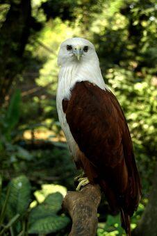 Free Indonesian Bald Eagle Stock Image - 25637361