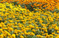 Free Orange Marigolds Growing Royalty Free Stock Photo - 25645135
