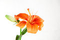 Free Lilies Royalty Free Stock Photos - 25646228