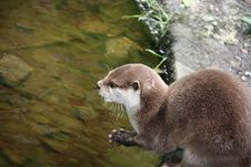 Free Cute Otter. Royalty Free Stock Image - 25643786