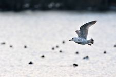Free Seagull Gliding Over The Lake Royalty Free Stock Photo - 25643985