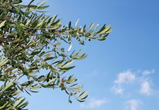 Olive Tree Branch Against Blue Sky Royalty Free Stock Photo