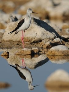 Free Black-Winged Stilt &x28;Himantopus Himantopus&x29; Stock Photos - 25647293