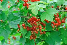 Free Ripe Red Currants Stock Photos - 25647993