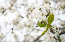 Free Cherry Blossom Royalty Free Stock Image - 25648976