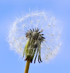 Dandelion Seeds And Blue Sky Stock Photography