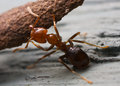 Free Strong Ant Royalty Free Stock Images - 25651839