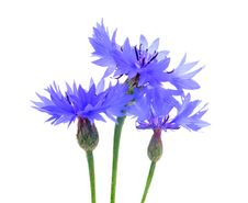 Free Three Beautiful Blue Cornflowers Stock Image - 25652181