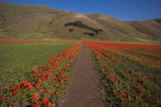 Road Of Poppies Royalty Free Stock Photography