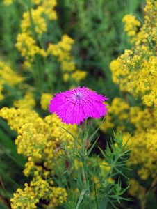 Free Dianthus Royalty Free Stock Photography - 25655157