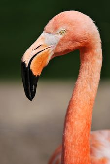 Portrait Of American Flamingo Stock Photos