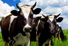 Free Cows In The Meadow Royalty Free Stock Photos - 25659498