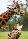 Free Two Giraffes Stock Images - 25660294