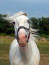 Free White Horse Royalty Free Stock Photos - 25664188