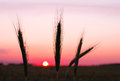 Free Rye Ears At Sunset Stock Image - 25664781