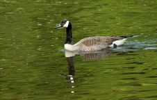 Free Canada Goose Swimming In River Stock Images - 25661854