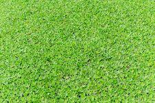 Free Hyacinth Leaf Royalty Free Stock Photo - 25662085