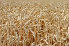 Free Wheat In The Field Royalty Free Stock Photos - 25662138