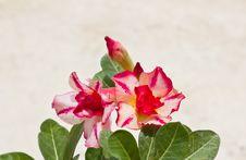 Free Impala Lily Adenium Royalty Free Stock Photography - 25663967