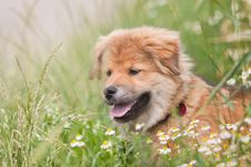 Free Elo Puppy Is Sitting In A Flower Meadow Stock Photography - 25665612