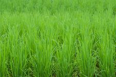 Free Green Rice Field Background Stock Image - 25668251