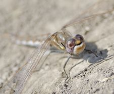 Free Macro Dragonfly Royalty Free Stock Photography - 25668307