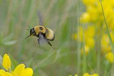 Free Bumble Bee Stock Image - 25668321