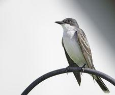 Eatern Kingbird Stock Image