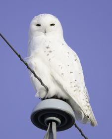 Free Snowy Owl Male Royalty Free Stock Images - 25668769