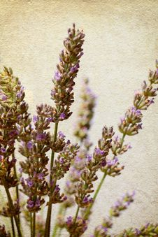 Free Lavender  In Old Paper Texture Royalty Free Stock Photo - 25668865