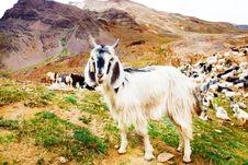 Free Goat Stock Photography - 25671972