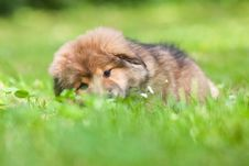 Free Cue Elo Puppy Lying In The Grass Stock Images - 25672534
