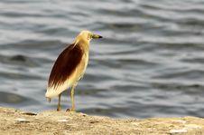 Free Heron Royalty Free Stock Photos - 25674348