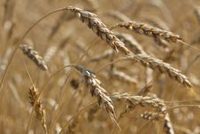 Free Wheat Field Stock Photography - 25679442