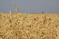 Free Wheat Field Stock Photography - 25679522
