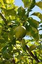 Free Lemon Tree Stock Images - 25681014
