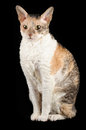 Free Cornish Rex Cat Sitting Against Black Background Royalty Free Stock Images - 25684079