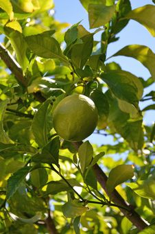 Free Lemon Tree Stock Images - 25681014