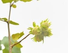 Free Green Hazelnuts Stock Photo - 25684700