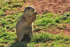 Free European Ground Squirrel Stock Photos - 25698213