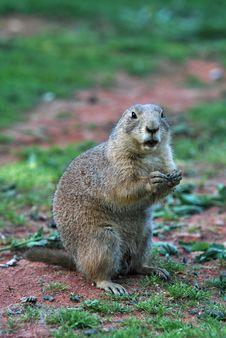 Free European Ground Squirrel Stock Images - 25698224