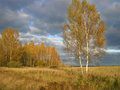 Free Birches Royalty Free Stock Photography - 2570037